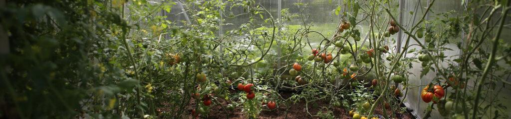 pieds de tomates cerise